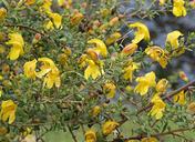 Keckiella antirrhinoides var. antirrhinoides