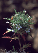 Navarretia ojaiensis
