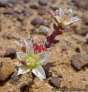 Dudleya brevifolia