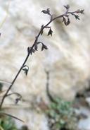 Thalictrum alpinum