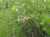 Rhus aromatica var. anisophylla