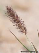 Pennisetum ciliare