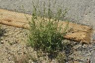 Chenopodium atrovirens