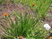 Agoseris aurantiaca var. aurantiaca