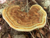 Dyers Polypore
