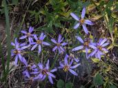 Aster foliaceus var. apricus