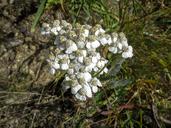 Achillea millefolium var. alpicola