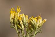 Chrysothamnus viscidiflorus ssp. viscidiflorus