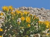 Ericameria cuneata var. spathulata