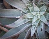 Dudleya saxosa ssp. aloides