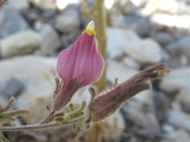 Cordylanthus parviflorus