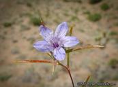 Eriastrum sapphirinum ssp. brevibracteatum