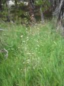 Deschampsia cespitosa ssp. cespitosa