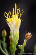 Ericameria brachylepis