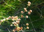 Juncus rugulosus