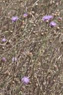 Centaurea jacea nothossp. pratensis