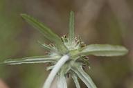 Euchiton sphaericus