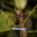 Ogre-faced Net-casting Spider