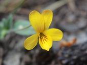 Viola bakeri