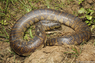 Bocourt's Water Snake