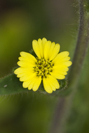 Chile Tarweed