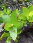 Arctostaphylos pallida