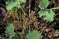 Lomatium repostum