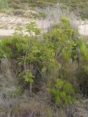 Cupaniopsis anacardioides,