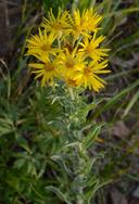 Heterotheca villosa var. nana