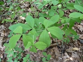 Thermopsis gracilis