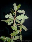 Quercus Xmacdonaldii