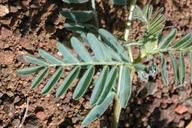 Astragalus californicus