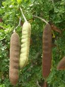 Ebenopsis ebano