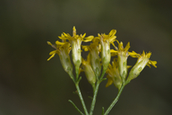 Euthamia caroliniana