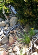 Hastingsia serpentinicola