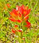 Castilleja brevilobata