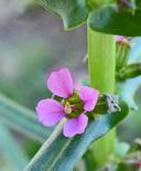 Ammannia robusta