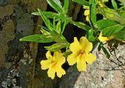 Mimulus aurantiacus var. pubescens