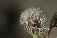 Heterotheca subaxillaris ssp. subaxillaris