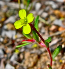 Camissonia parvula