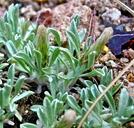 Antennaria dimorpha