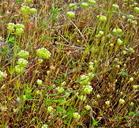 Chorizanthe stellulata