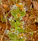 Phacelia heterophylla ssp. virgata