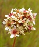 Micranthes integrifolia