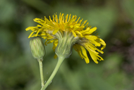Sonchus arvensis var. uliginosus