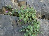 Mirabilis multiflora var. glandulosa