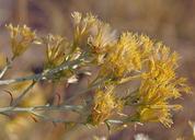 Ericameria nauseosa var. oreophila