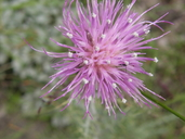 Yellow-spined Thistle