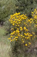 Ericameria nauseosa var. graveolens