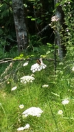 Speyeria cybele pugetensis